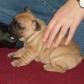 Annuncio: Cuccioli di Bulldog Francese
