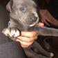 Annuncio: Cuccioli di cane corso italiano originali al 100 % disponibili