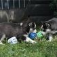Annuncio: Cuccioli di Siberian Husky