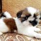 Annuncio: Regalo cuccioli di shitzu
