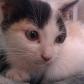 Annuncio: Smarrita gattina di 4 mesi.
