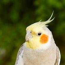 Notizie dal blog: Come allevare i pappagalli