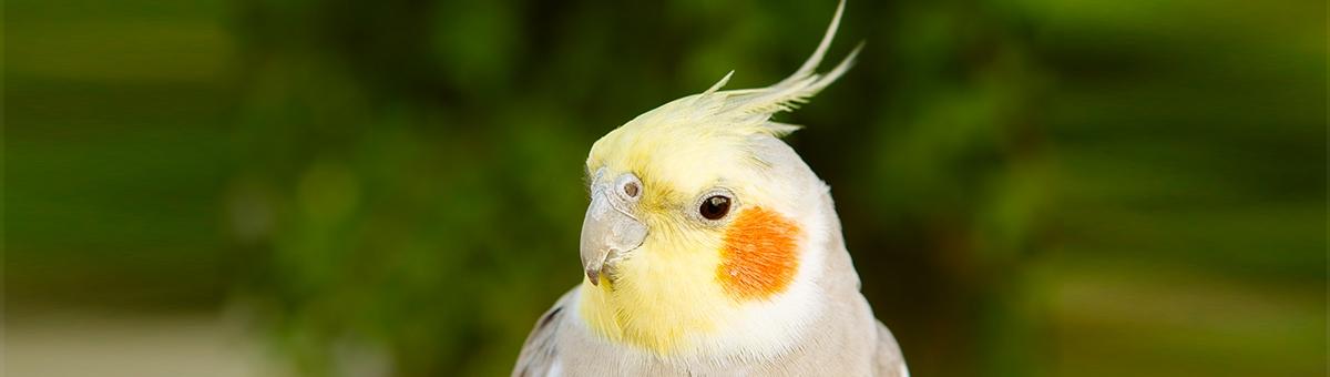Come allevare i pappagalli