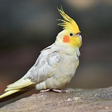 Notizie dal blog: La calopsita: il pappagallo con la cresta gialla