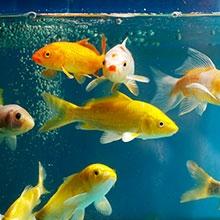 Notizie dal blog: I comportamenti bizzarri dei pesci in acquario