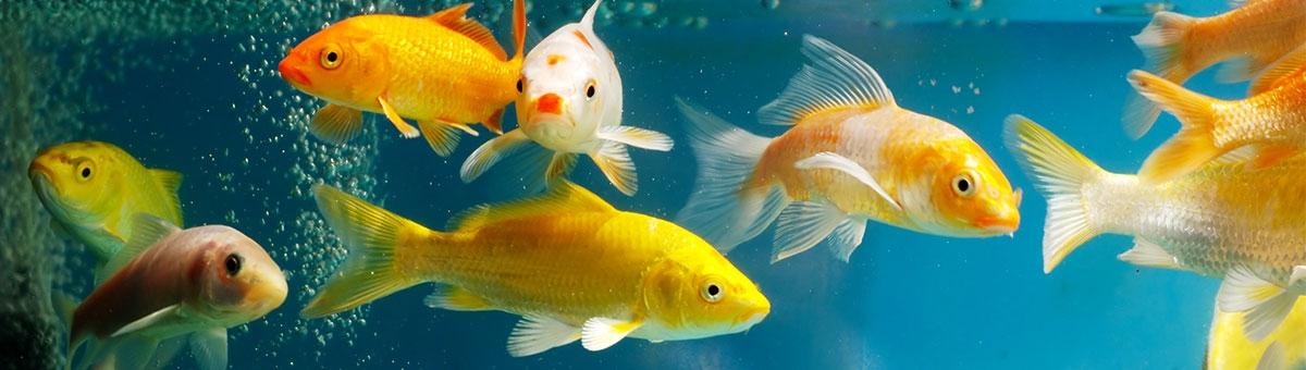 I comportamenti bizzarri dei pesci in acquario