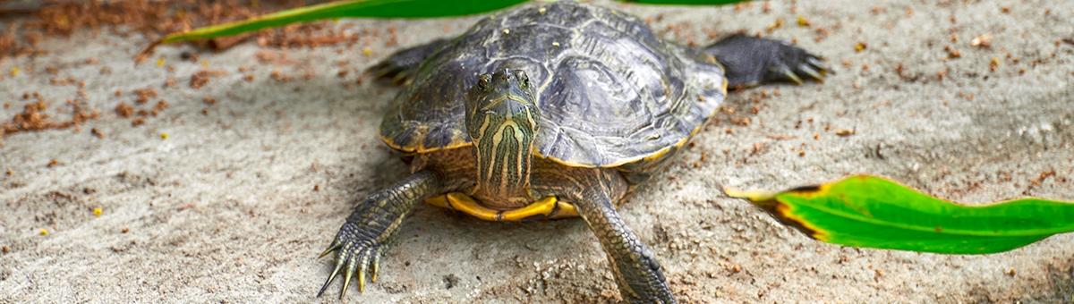 Come fanno le tartarughe a vivere così a lungo