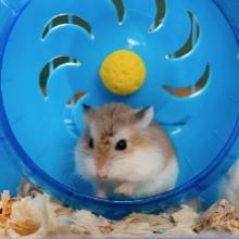 Notizie dal blog: I criceti e la ruota: perchè questi pet la amano così tanto