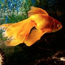 Notizie dal blog: Prendersi cura del pesciolino rosso: tutti i consigli utili