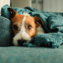 Notizie dal blog: Come eliminare i peli del cane da casa