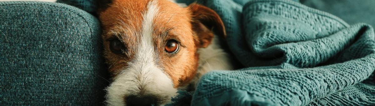 Come eliminare i peli del cane da casa