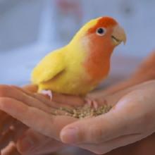 Notizie dal blog: Alimentazione dei pappagalli: cosa dare da mangiare ai nostri amici piumati