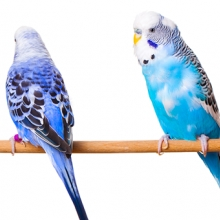 Notizie dal blog: Oli essenziali e rimedi naturali per i nostri pappagallini