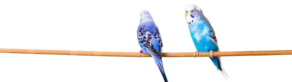 Oli essenziali e rimedi naturali per i nostri pappagallini