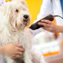 Notizie dal blog: Tosare il pelo del cane, quando è giusto farlo.