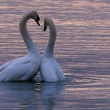 Notizie dal blog: Un amore che dura tutta la vita: gli animali monogami