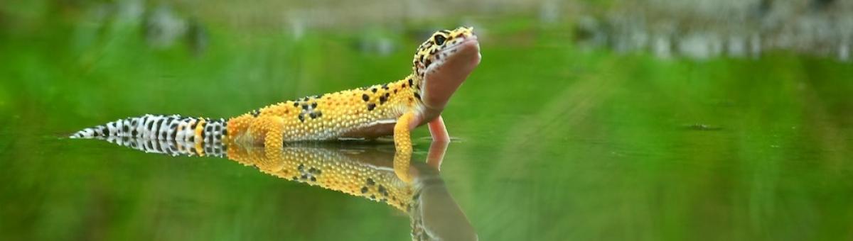 Curiosità sul geco leopardino